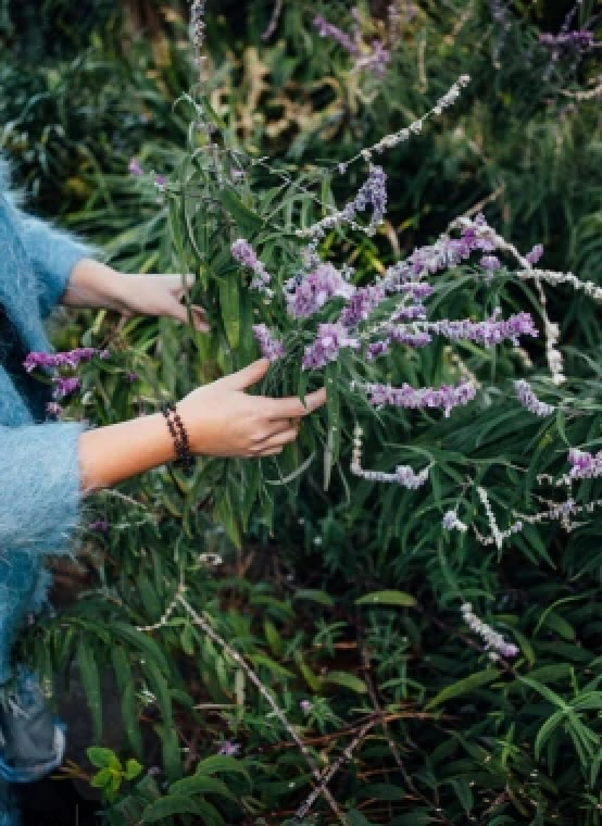 Woman collecting lavender